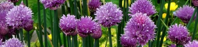 ciboulette-fleurs-190117